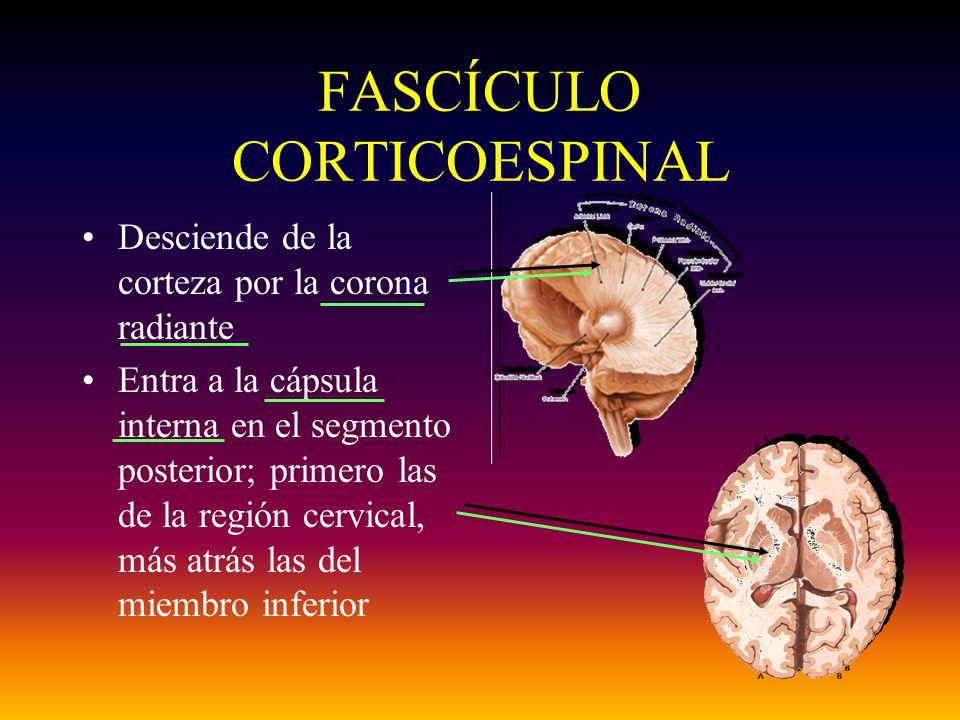 FASCÍCULO CORTICOESPINAL Desciende de la corteza por la corona radiante Entra a la cápsula interna en el segmento posterior; primero las de la región