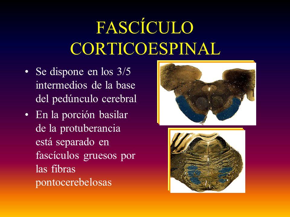 FASCÍCULO CORTICOESPINAL Se dispone en los 3/5 intermedios de la base del pedúnculo cerebral En la porción basilar de la protuberancia está separado e