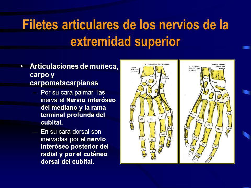 Articulaciones de los dedos –Inervadas por colaterales dorsales y palmares de los nervios radial, cubital y mediano Filetes articulares de los nervios de la extremidad superior