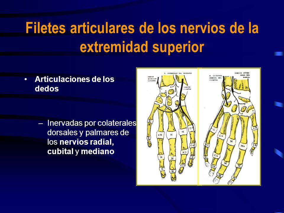 Articulaciones de los dedos –Inervadas por colaterales dorsales y palmares de los nervios radial, cubital y mediano Filetes articulares de los nervios