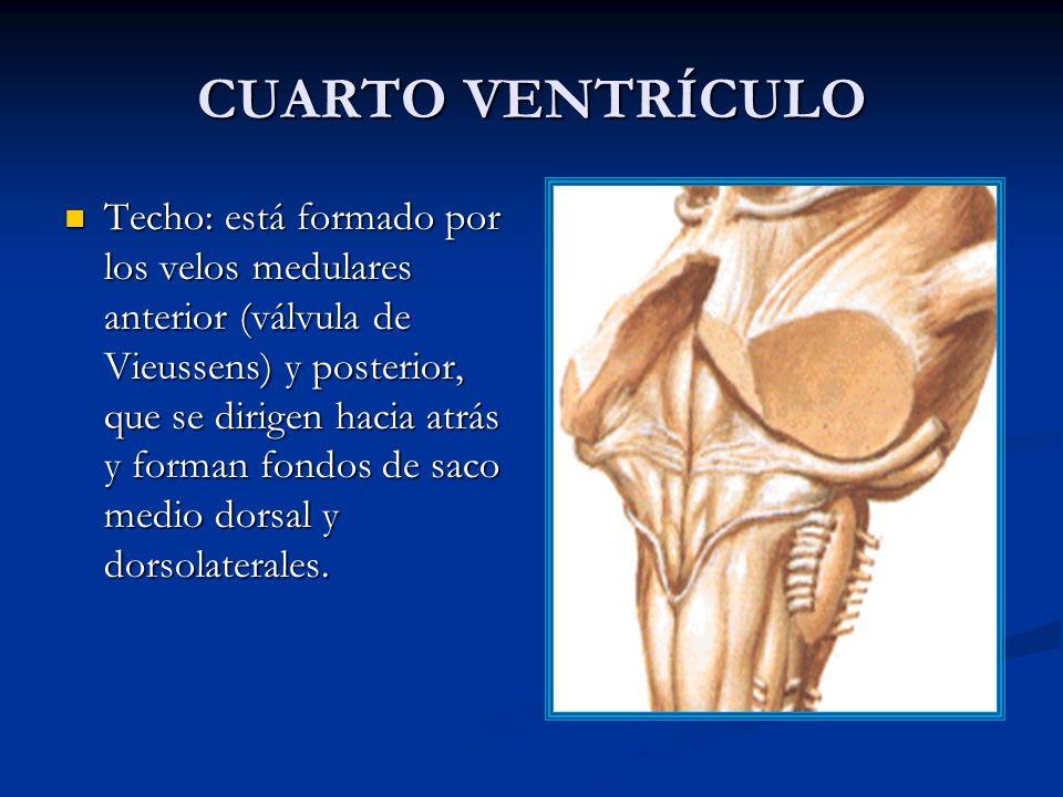 CUARTO VENTRÍCULO Techo: está formado por los velos medulares anterior (válvula de Vieussens) y posterior, que se dirigen hacia atrás y forman fondos de saco medio dorsal y dorsolaterales.