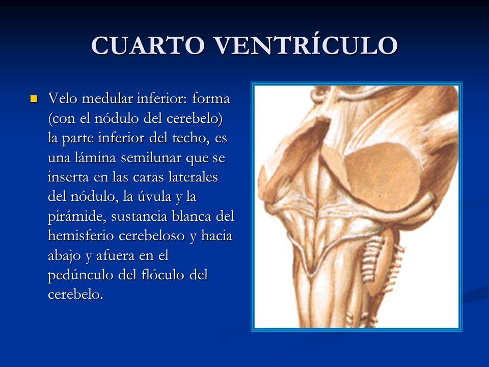 CUARTO VENTRÍCULO Velo medular inferior: forma (con el nódulo del cerebelo) la parte inferior del techo, es una lámina semilunar que se inserta en las caras laterales del nódulo, la úvula y la pirámide, sustancia blanca del hemisferio cerebeloso y hacia abajo y afuera en el pedúnculo del flóculo del cerebelo.