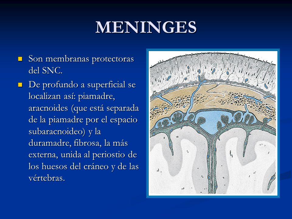 MENINGES Son membranas protectoras del SNC.Son membranas protectoras del SNC.