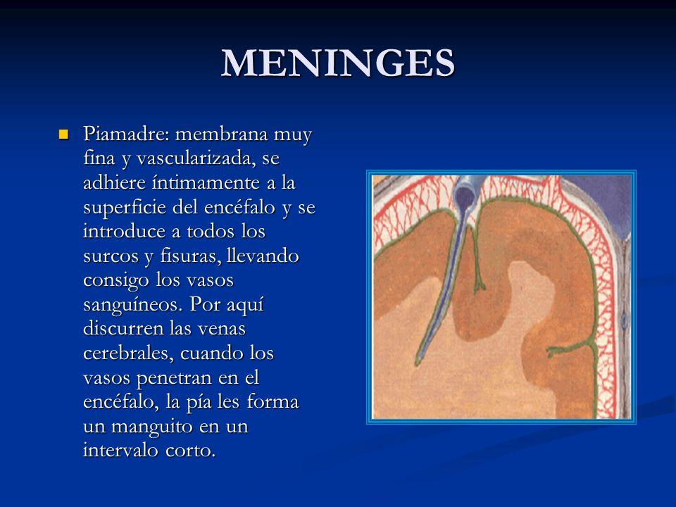 MENINGES Piamadre: membrana muy fina y vascularizada, se adhiere íntimamente a la superficie del encéfalo y se introduce a todos los surcos y fisuras, llevando consigo los vasos sanguíneos.