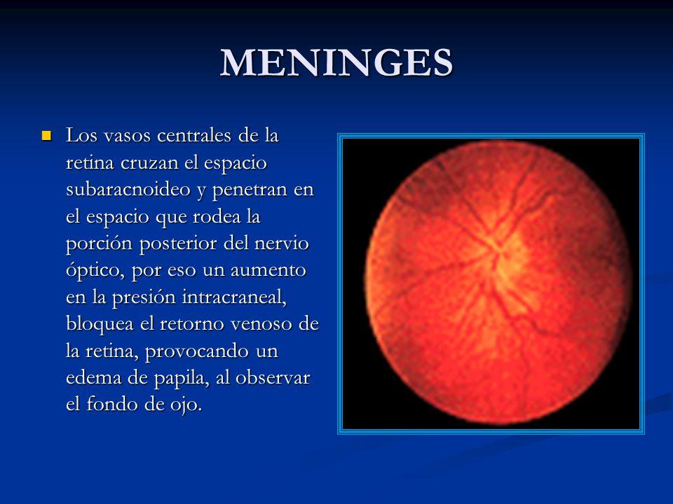MENINGES Los vasos centrales de la retina cruzan el espacio subaracnoideo y penetran en el espacio que rodea la porción posterior del nervio óptico, por eso un aumento en la presión intracraneal, bloquea el retorno venoso de la retina, provocando un edema de papila, al observar el fondo de ojo.