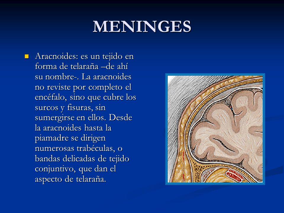 MENINGES Aracnoides: es un tejido en forma de telaraña –de ahí su nombre-.