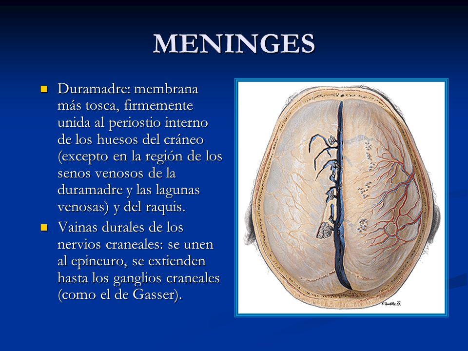MENINGES Duramadre: membrana más tosca, firmemente unida al periostio interno de los huesos del cráneo (excepto en la región de los senos venosos de la duramadre y las lagunas venosas) y del raquis.