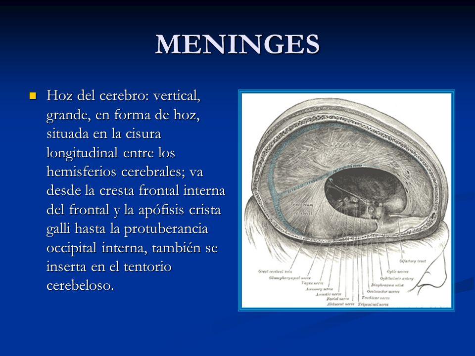 MENINGES Hoz del cerebro: vertical, grande, en forma de hoz, situada en la cisura longitudinal entre los hemisferios cerebrales; va desde la cresta frontal interna del frontal y la apófisis crista galli hasta la protuberancia occipital interna, también se inserta en el tentorio cerebeloso.