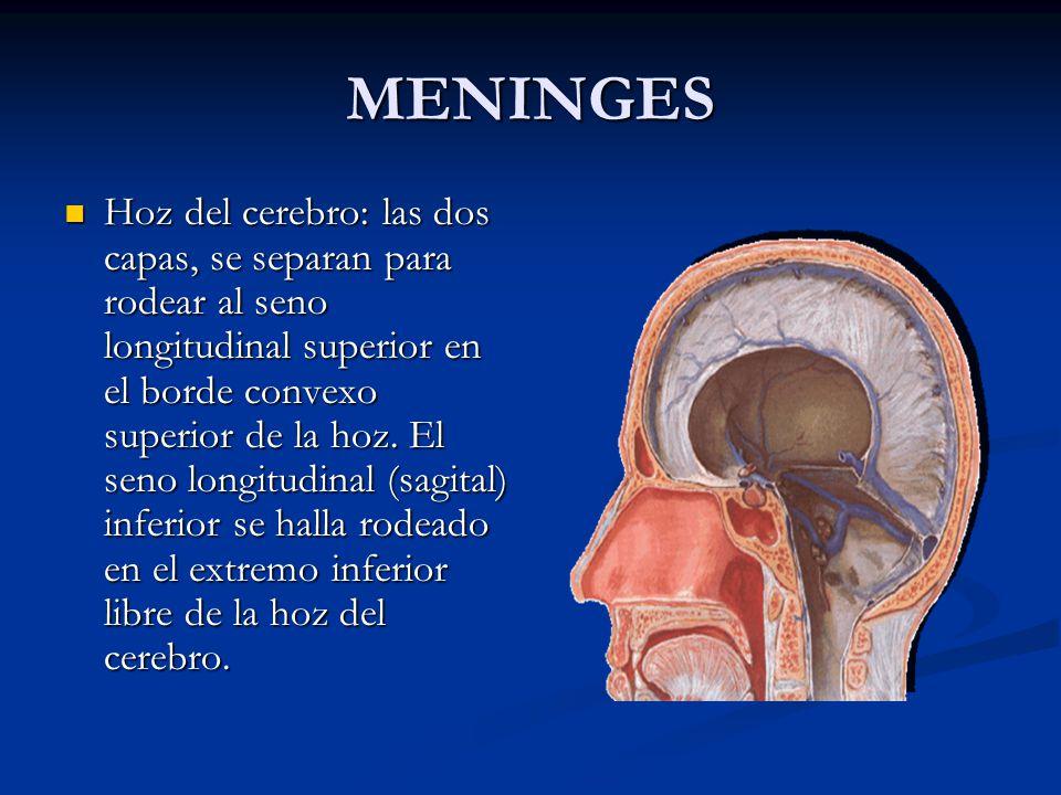 MENINGES Hoz del cerebro: las dos capas, se separan para rodear al seno longitudinal superior en el borde convexo superior de la hoz.