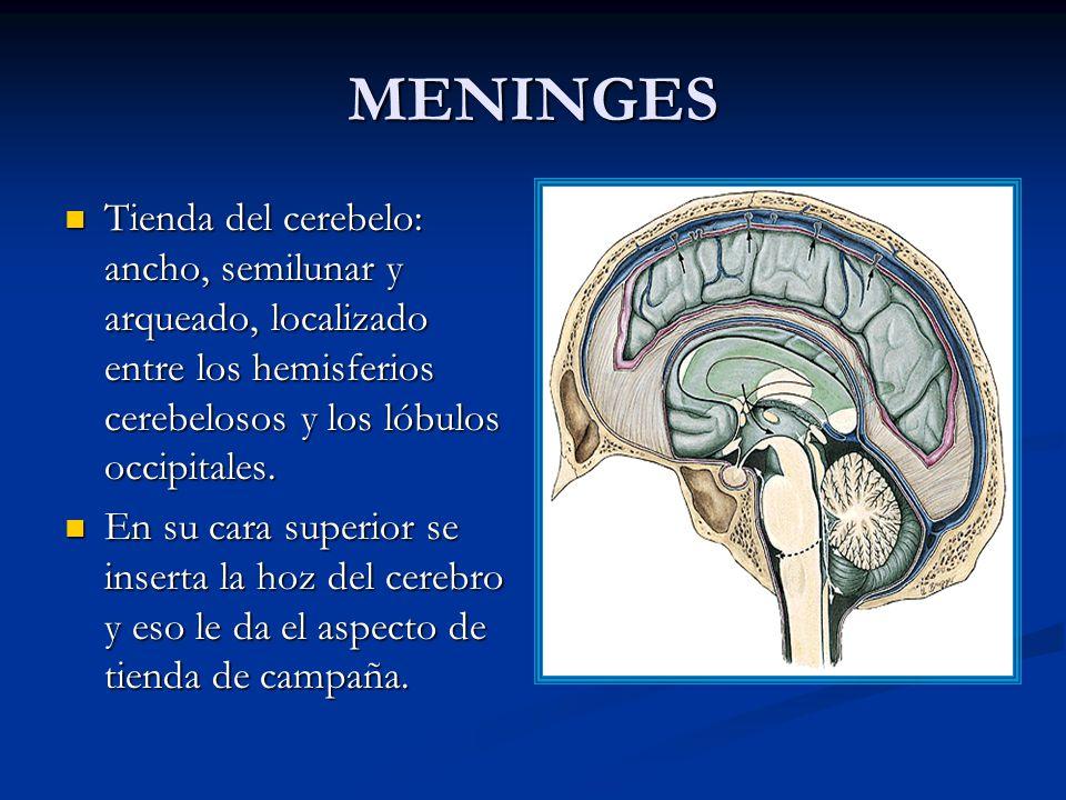 MENINGES Tienda del cerebelo: ancho, semilunar y arqueado, localizado entre los hemisferios cerebelosos y los lóbulos occipitales.