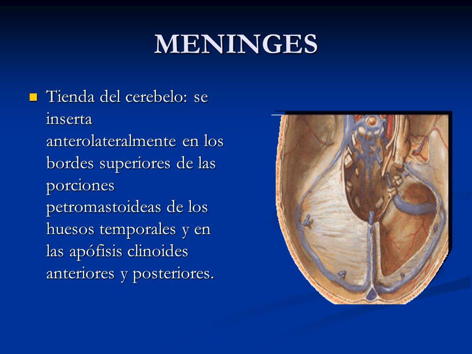 MENINGES Tienda del cerebelo: se inserta anterolateralmente en los bordes superiores de las porciones petromastoideas de los huesos temporales y en las apófisis clinoides anteriores y posteriores.