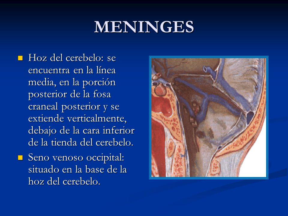 MENINGES Hoz del cerebelo: se encuentra en la línea media, en la porción posterior de la fosa craneal posterior y se extiende verticalmente, debajo de la cara inferior de la tienda del cerebelo.