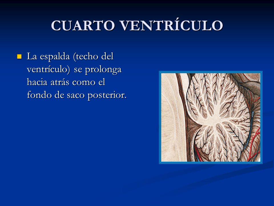 CUARTO VENTRÍCULO La espalda (techo del ventrículo) se prolonga hacia atrás como el fondo de saco posterior.