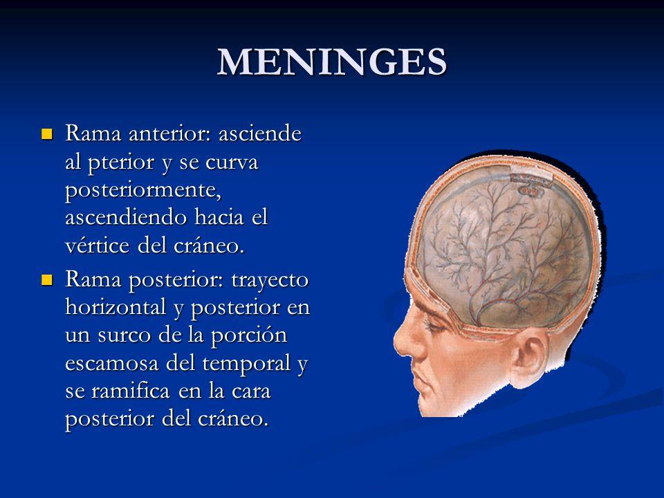 MENINGES Rama anterior: asciende al pterior y se curva posteriormente, ascendiendo hacia el vértice del cráneo.
