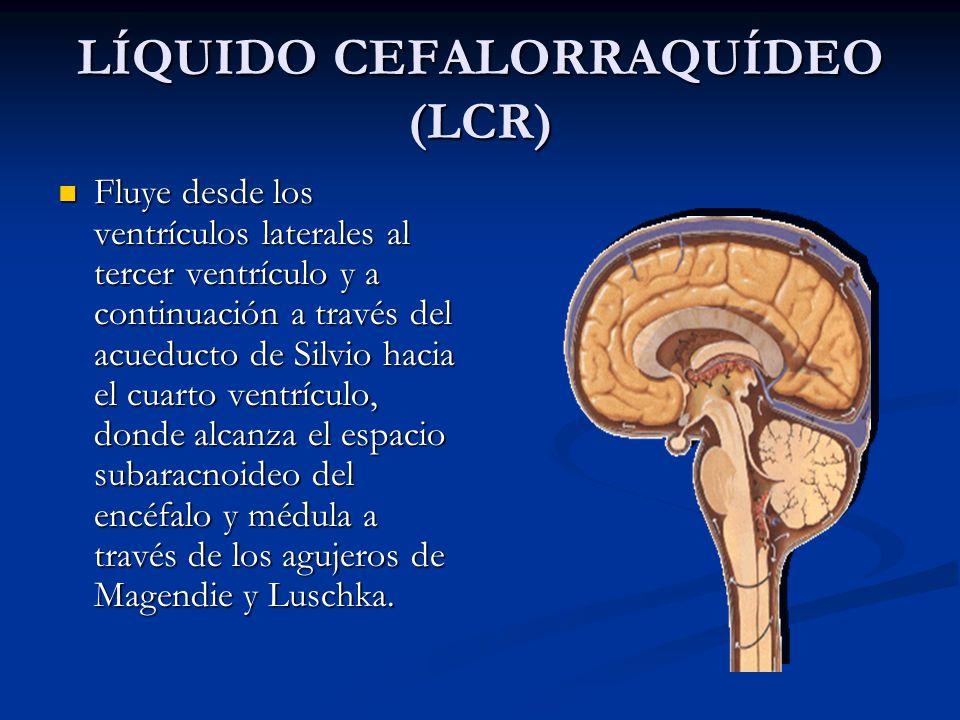 LÍQUIDO CEFALORRAQUÍDEO (LCR) Fluye desde los ventrículos laterales al tercer ventrículo y a continuación a través del acueducto de Silvio hacia el cuarto ventrículo, donde alcanza el espacio subaracnoideo del encéfalo y médula a través de los agujeros de Magendie y Luschka.