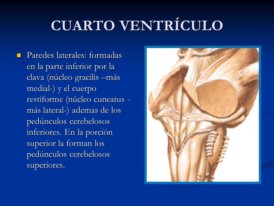 CUARTO VENTRÍCULO Paredes laterales: formadas en la parte inferior por la clava (núcleo gracilis –más medial-) y el cuerpo restiforme (núcleo cuneatus - más lateral-) ademas de los pedúnculos cerebelosos inferiores.