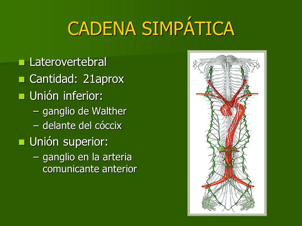 CADENA SIMPÁTICA Laterovertebral Laterovertebral Cantidad: 21aprox Cantidad: 21aprox Unión inferior: Unión inferior: –ganglio de Walther –delante del