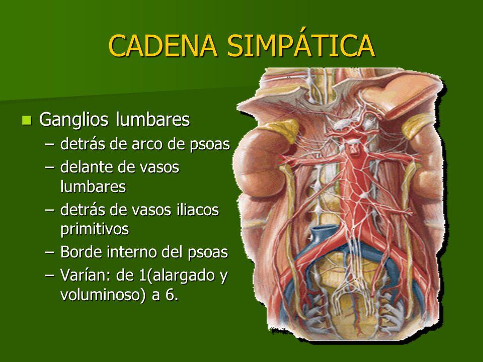 CADENA SIMPÁTICA Ganglios lumbares Ganglios lumbares –detrás de arco de psoas –delante de vasos lumbares –detrás de vasos iliacos primitivos –Borde in