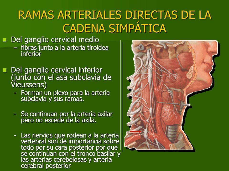 RAMAS ARTERIALES DIRECTAS DE LA CADENA SIMPÁTICA Del ganglio cervical medio Del ganglio cervical medio –fibras junto a la arteria tiroidea inferior De