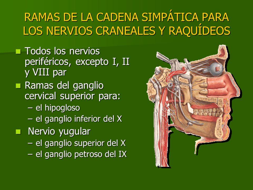 RAMAS DE LA CADENA SIMPÁTICA PARA LOS NERVIOS CRANEALES Y RAQUÍDEOS Todos los nervios periféricos, excepto I, II y VIII par Todos los nervios periféri