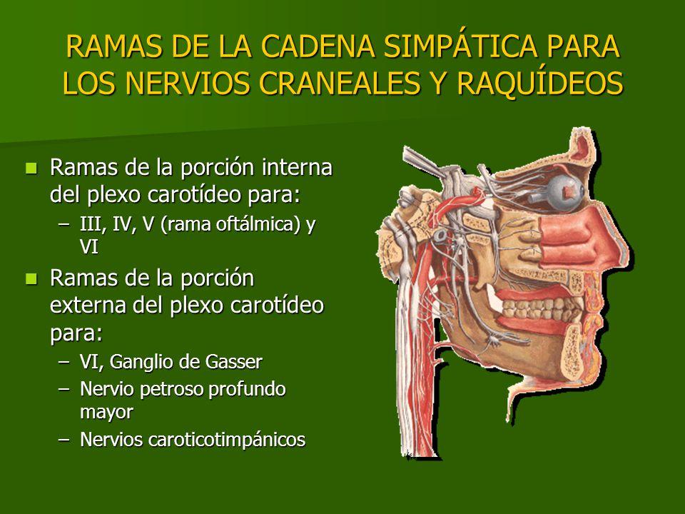 RAMAS DE LA CADENA SIMPÁTICA PARA LOS NERVIOS CRANEALES Y RAQUÍDEOS Ramas de la porción interna del plexo carotídeo para: Ramas de la porción interna