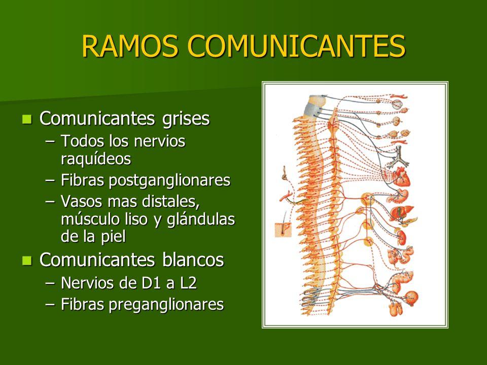 RAMOS COMUNICANTES Comunicantes grises Comunicantes grises –Todos los nervios raquídeos –Fibras postganglionares –Vasos mas distales, músculo liso y g