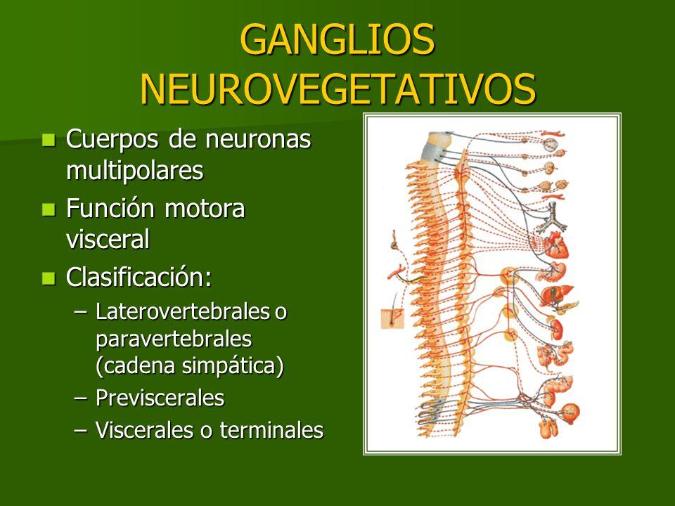 GANGLIOS NEUROVEGETATIVOS Cuerpos de neuronas multipolares Cuerpos de neuronas multipolares Función motora visceral Función motora visceral Clasificac