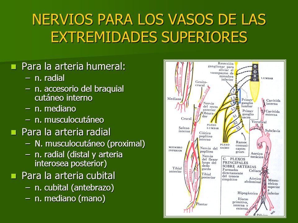 NERVIOS PARA LOS VASOS DE LAS EXTREMIDADES SUPERIORES Para la arteria humeral: Para la arteria humeral: –n. radial –n. accesorio del braquial cutáneo
