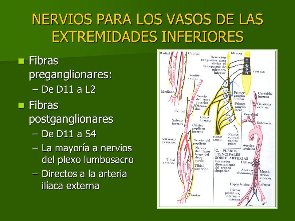 NERVIOS PARA LOS VASOS DE LAS EXTREMIDADES INFERIORES Fibras preganglionares: Fibras preganglionares: –De D11 a L2 Fibras postganglionares Fibras post