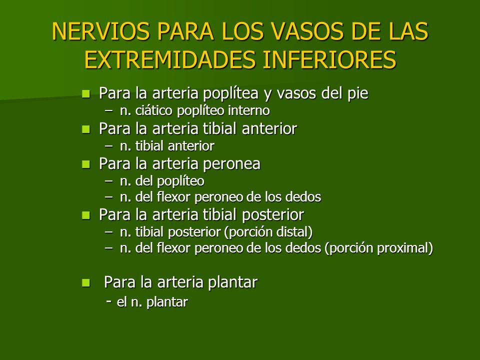 NERVIOS PARA LOS VASOS DE LAS EXTREMIDADES INFERIORES Para la arteria poplítea y vasos del pie Para la arteria poplítea y vasos del pie –n. ciático po