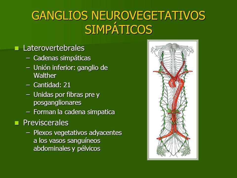GANGLIOS NEUROVEGETATIVOS SIMPÁTICOS Laterovertebrales Laterovertebrales –Cadenas simpáticas –Unión inferior: ganglio de Walther –Cantidad: 21 –Unidas