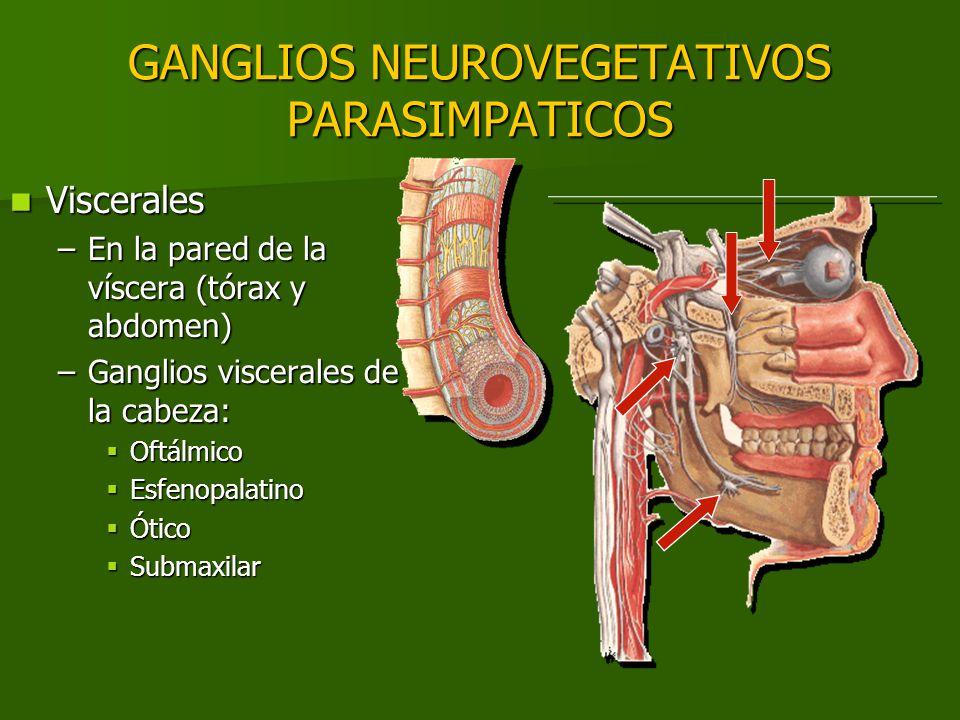 GANGLIOS NEUROVEGETATIVOS PARASIMPATICOS Viscerales Viscerales –En la pared de la víscera (tórax y abdomen) –Ganglios viscerales de la cabeza: Oftálmi