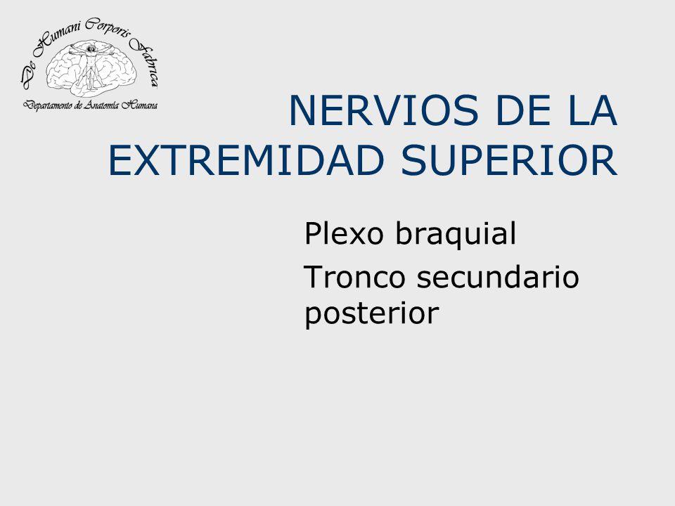Nervio Radial en el Canal radial del húmero Da origen a 4 ramas: Nervio del ancóneo (que se distribuye también en el vasto interno).