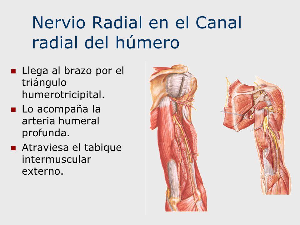 Nervio Radial en el Canal radial del húmero Llega al brazo por el triángulo humerotricipital. Lo acompaña la arteria humeral profunda. Atraviesa el ta