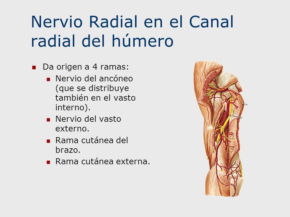 Nervio Radial en el Canal radial del húmero Da origen a 4 ramas: Nervio del ancóneo (que se distribuye también en el vasto interno). Nervio del vasto