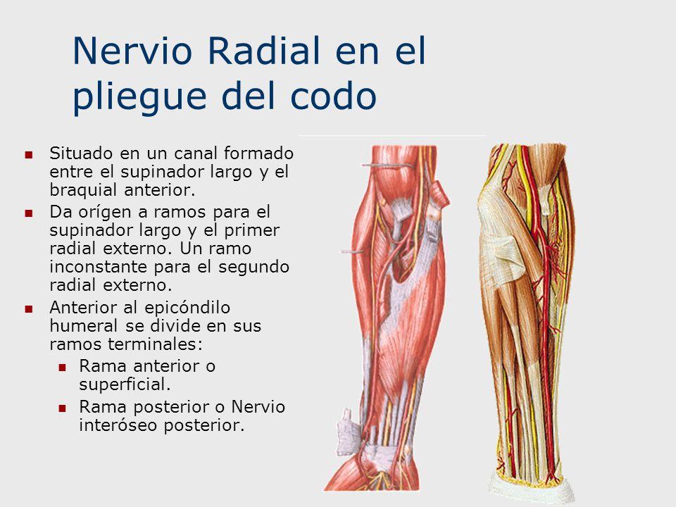 Nervio Radial en el pliegue del codo Situado en un canal formado entre el supinador largo y el braquial anterior. Da orígen a ramos para el supinador