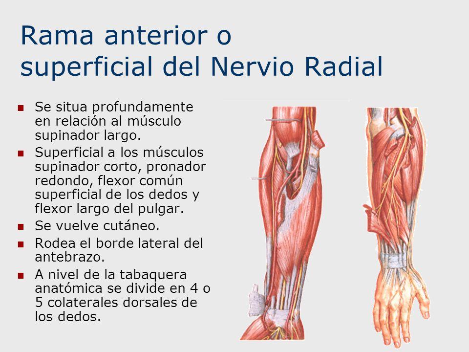 Rama anterior o superficial del Nervio Radial Se situa profundamente en relación al músculo supinador largo. Superficial a los músculos supinador cort