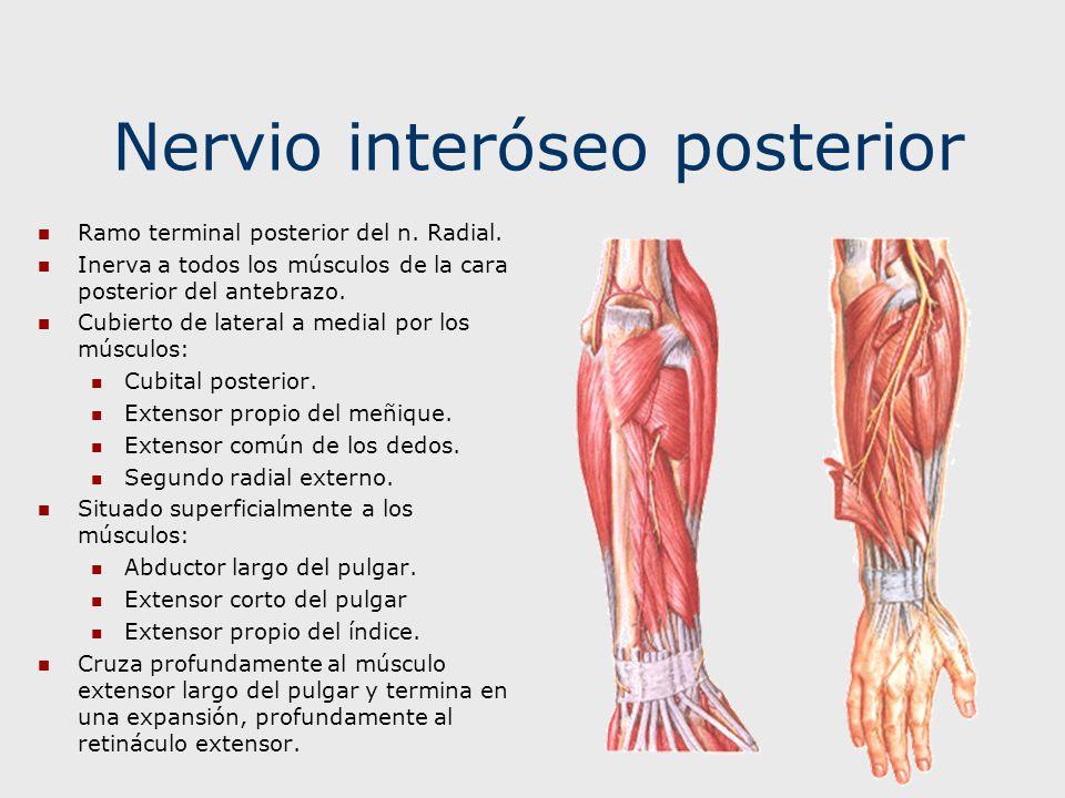 Nervio interóseo posterior Ramo terminal posterior del n. Radial. Inerva a todos los músculos de la cara posterior del antebrazo. Cubierto de lateral