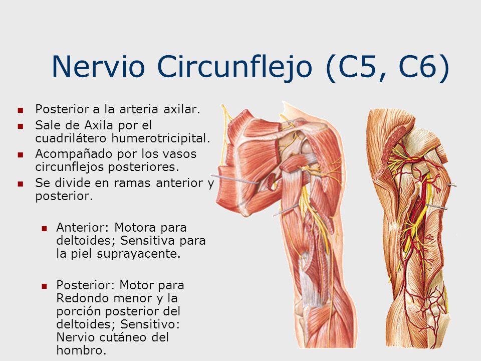 Nervio Circunflejo (C5, C6) Posterior a la arteria axilar. Sale de Axila por el cuadrilátero humerotricipital. Acompañado por los vasos circunflejos p