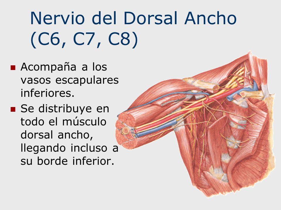 Nervio del Dorsal Ancho (C6, C7, C8) Acompaña a los vasos escapulares inferiores. Se distribuye en todo el músculo dorsal ancho, llegando incluso a su