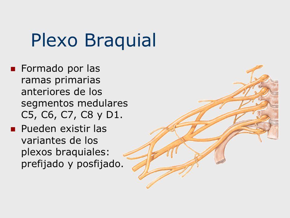 Plexo Braquial Formado por las ramas primarias anteriores de los segmentos medulares C5, C6, C7, C8 y D1. Pueden existir las variantes de los plexos b