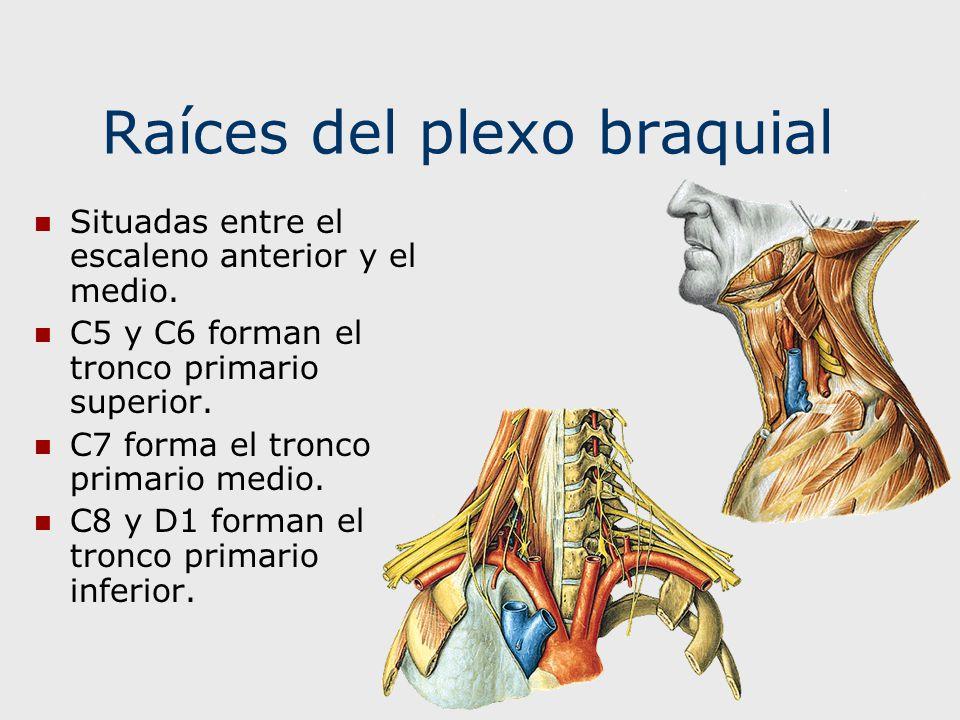 Rama anterior o superficial del Nervio Radial Se situa profundamente en relación al músculo supinador largo.