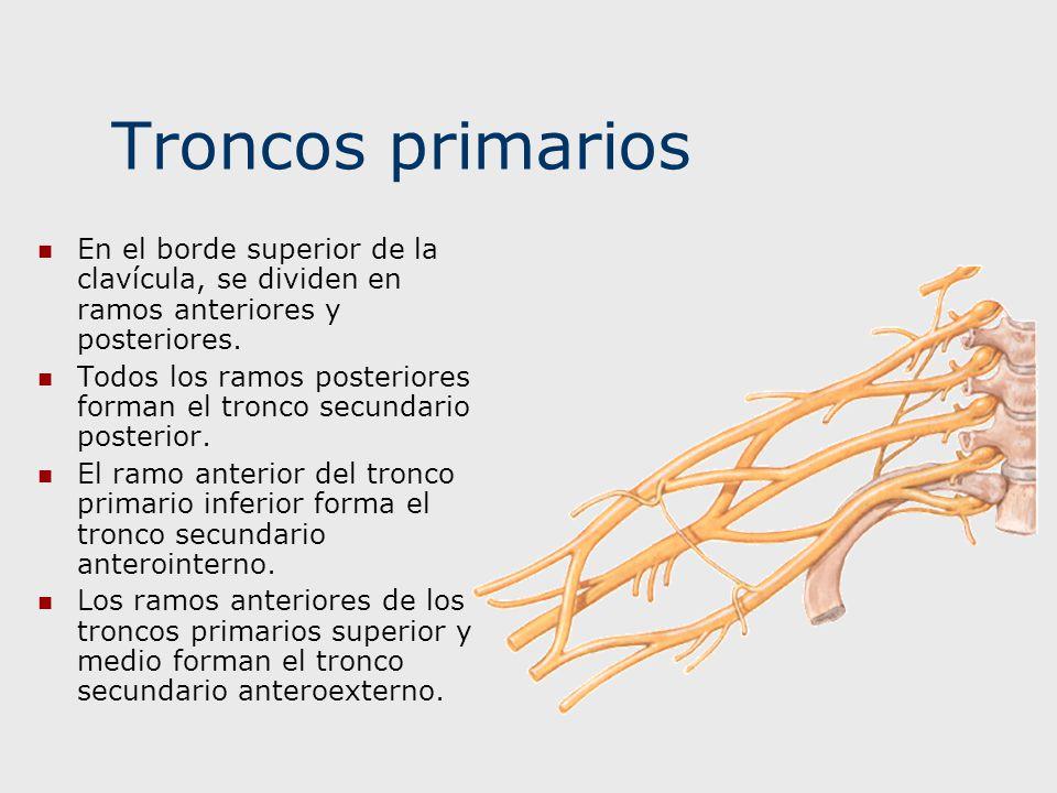 Troncos primarios En el borde superior de la clavícula, se dividen en ramos anteriores y posteriores. Todos los ramos posteriores forman el tronco sec