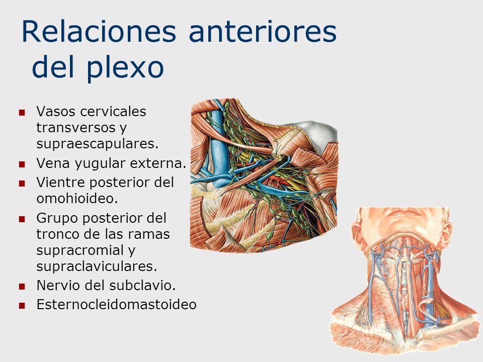 Relaciones anteriores del plexo Vasos cervicales transversos y supraescapulares. Vena yugular externa. Vientre posterior del omohioideo. Grupo posteri