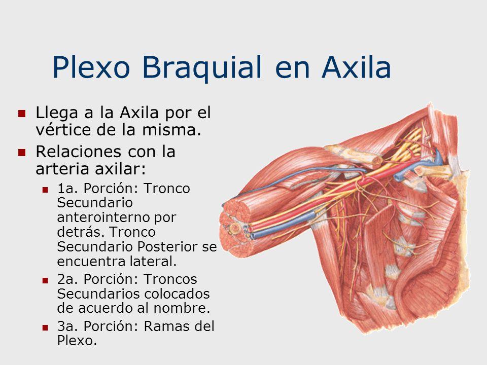 Plexo Braquial en Axila Llega a la Axila por el vértice de la misma. Relaciones con la arteria axilar: 1a. Porción: Tronco Secundario anterointerno po