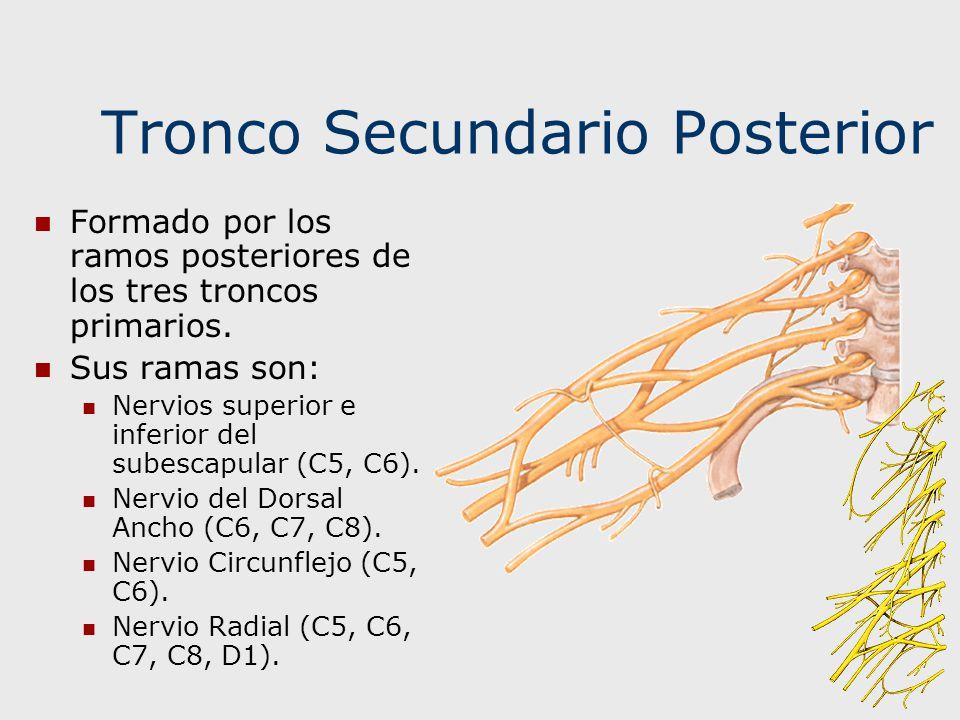 Tronco Secundario Posterior Formado por los ramos posteriores de los tres troncos primarios. Sus ramas son: Nervios superior e inferior del subescapul