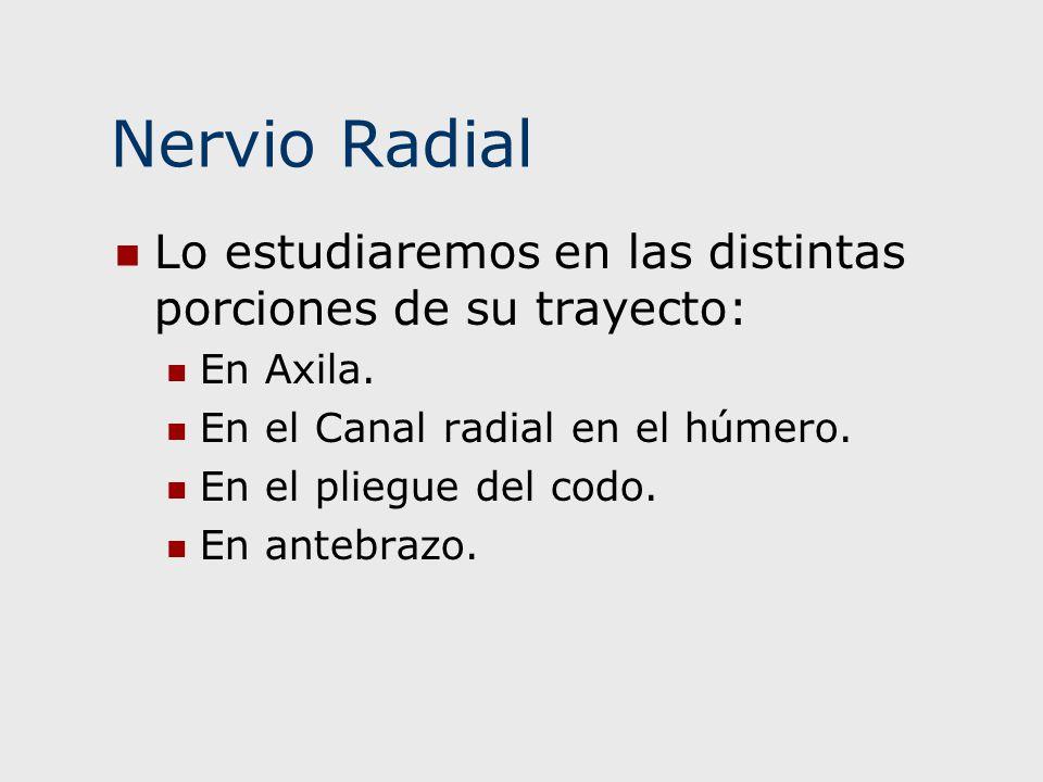 Nervio Radial Lo estudiaremos en las distintas porciones de su trayecto: En Axila. En el Canal radial en el húmero. En el pliegue del codo. En antebra