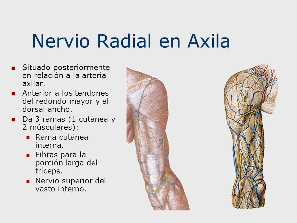 Nervio Radial en Axila Situado posteriormente en relación a la arteria axilar. Anterior a los tendones del redondo mayor y al dorsal ancho. Da 3 ramas