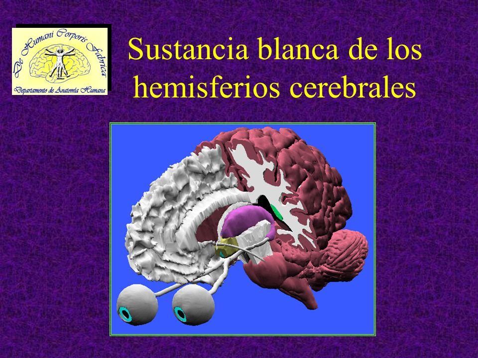 SUSTANCIA BLANCA DE LOS HEMISFERIOS CEREBRALES Está compuesta de los cilindroejes o axones de las neuronas de la corteza (sustancia gris) Se dividen en tres grupos: –Fibras comisurales –Fibras de proyección –Fibras de asociación