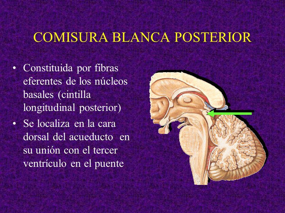 COMISURA BLANCA POSTERIOR Constituida por fibras eferentes de los núcleos basales (cintilla longitudinal posterior) Se localiza en la cara dorsal del